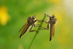 Flies on plant stem. Macro of two flies on plant stem with green nature background Stock Images