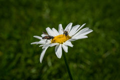 Flies pollinating wild flower Royalty Free Stock Images