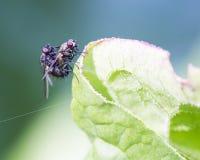Flies reproducing Stock Images