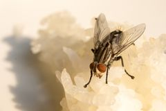 Flies on rice dishes. Insects that cause many types of epidemics by spreading in food.Hygiene regarding consumption that should be given priority royalty free stock photography