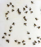 Flies on sticky fly paper trap Royalty Free Stock Photos