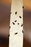 Flies on a sticky tape trap Royalty Free Stock Photo