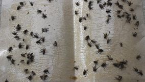 Flies stuck on fly trap stock video footage