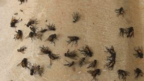 Flies stuck on fly trap stock footage