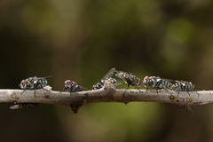 Flies on a twig. Some flies alighted on a twig royalty free stock image