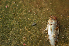 Flies were swarming fish carcasses Stock Images
