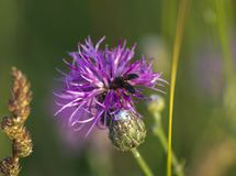 Flies on a wild flower. Flies on a wild purple flower in a green spring field royalty free stock images