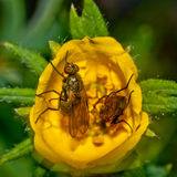 Flies on Yellow Flower. Macro of flies on a yellow flower Royalty Free Stock Photos
