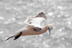 Flighing northern gannet / Morus bassanus Stock Image