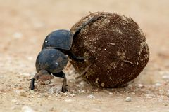Flighless Dung Beetle Rolling Ball Royalty Free Stock Photos