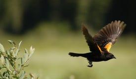 In Flight. Red-winged Blackbird in Flight stock photos