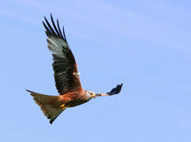 Flight. Red Kite Eagle in flight on a blue sky day Stock Image