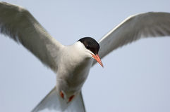 In flight. The Common Tern (Sterna hirundo) is a seabird of the tern family Sternidae Royalty Free Stock Image