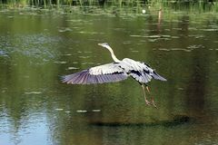 In Flight. Blue Heron royalty free stock image