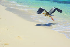 Flight. Heron flying over the beach on Maldives stock photos