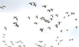 In Flight. Snow geese Stock Photos