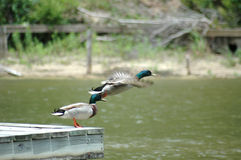 In Flight. Mallard Ducks take off from a dock. Duck was caught in flight with wings spread open and moving Stock Images