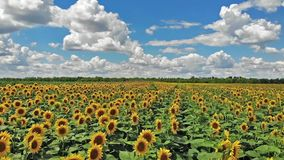 Flight above field of blooming sunflowers stock video footage