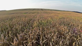 Flight above wheat field, aerial panoramic view. stock footage