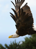 The flight of an American bald eagle Royalty Free Stock Images