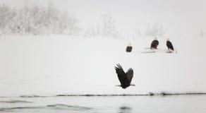 Flight bald eagle. Stock Photos