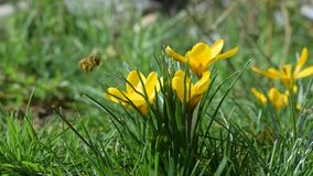 Bee flying over a yellow crocus stock video footage