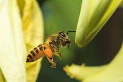 Flight bee Stock Photography