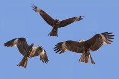 Flight of a bird in the sky Royalty Free Stock Photos