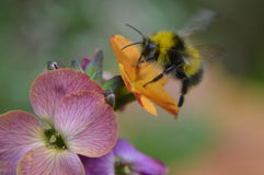 Flight of the Bumble Bee. A Bumble Bee flies in on a flower to gather nectar Stock Photography
