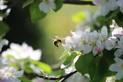Flight of the Bumblebee. At the apple blossom Royalty Free Stock Photos