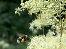 Flight of the bumblebee Stock Photography