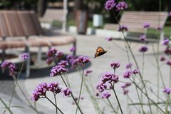 Flight of a butterfly over a purple flower. A flower in a park in a flowerbed. royalty free stock image