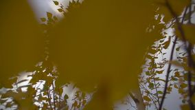 Flight of the Camera Through Yellow Leaves of a Tree in the Fall stock video footage