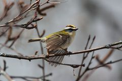 The flight of a common firecrest. Photographed during a forest walk in La Chaux-de-Fonds Switzerland Royalty Free Stock Image