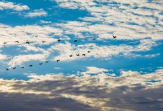 Flight of Cormorants in Formation stock photos