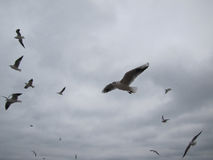 Flight of covey of gulls on a background sky. Stock Photos