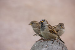 Flight of curious sparrows on a beam Stock Images