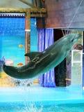 Dolphin jumping  Royalty Free Stock Photo