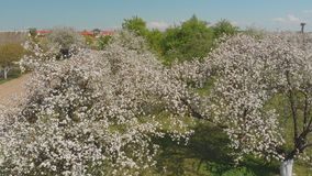 The flight of the drone over the blossoming apple orchard in the Russian village. stock footage