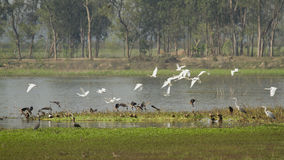 Flight of ducks and egrets at Badaya Lake, Bardia, Nepal Royalty Free Stock Photos
