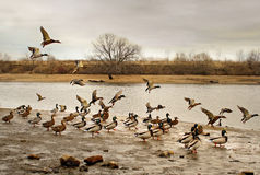 Flight of ducks. Stock Photos