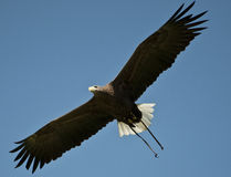 Flight of the Eagle Stock Photography