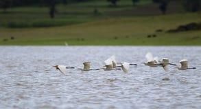 Flight of egrets Stock Images
