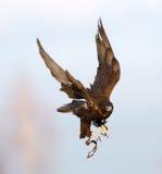 Flight of the falcon Stock Photo