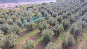 Flight on farmers during the olive harvest stock footage