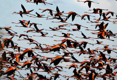 Flight of a flamingo in the sky. royalty free stock images