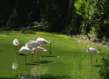 Flight of Flamingoes Stock Photography