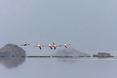 Flight of flamingos Stock Photography