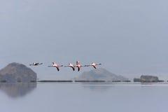 Flight of flamingos Stock Photography