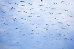Flight of flying seagulls Stock Photography
